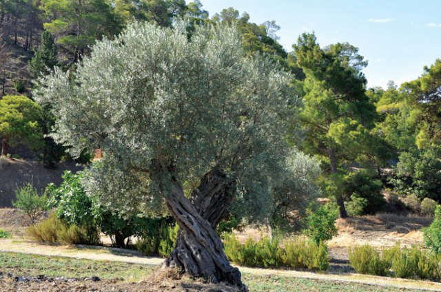 Bearing Hope The Olive Experiment Has Proven To Be A Success In Arid Parts